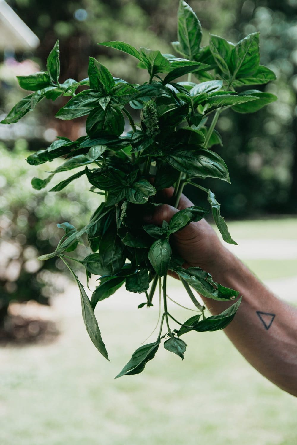 A hand holds a bundle of fresh-picked basil from the garden.