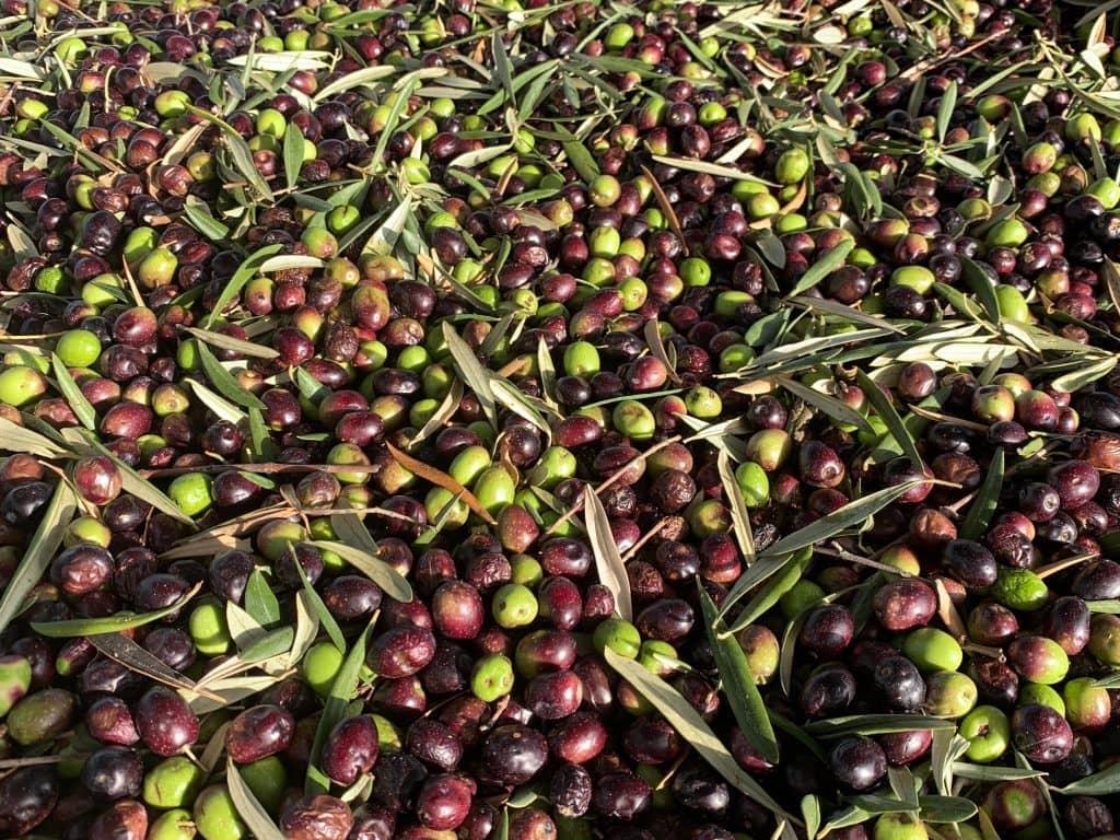 Olives after harvest.