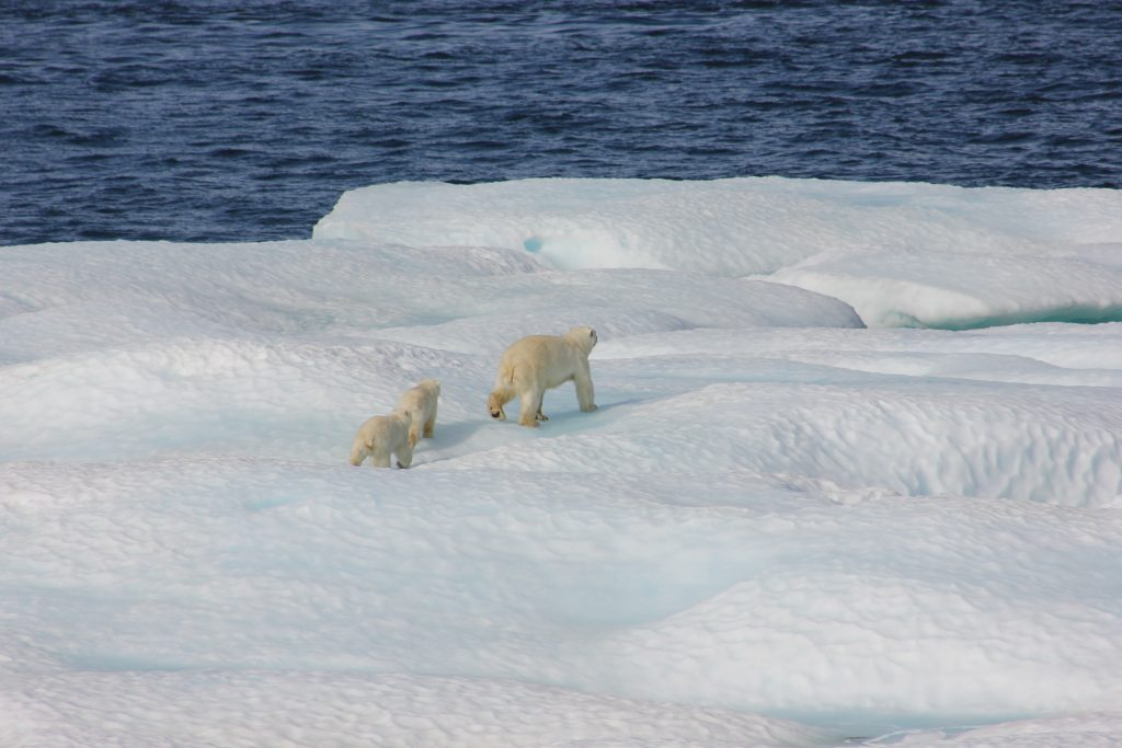 Polar bears in Greenland.