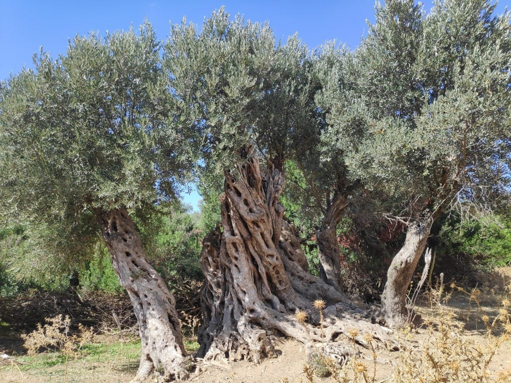 Giant trees in an olive grove on Mykonos Island, Greece.